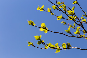 Birch branches with young leaves against the sky