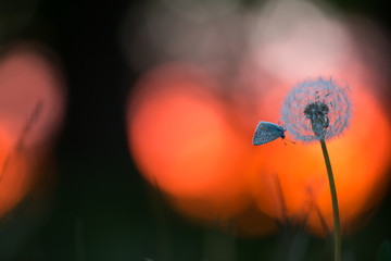 Beautiful photo of a Common blue, Polyommatus icarus resting on overblown dandelion in sunset