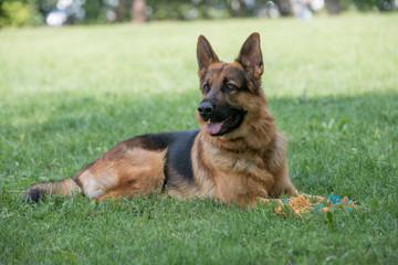 German Shepherd sitting on the green grass