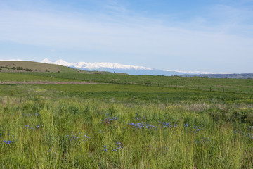 A View of the Crazy Mountains with a grassy field and small purple wildflowers in the foreground. The rugged mountains are snow capped. Thin white clouds are above.