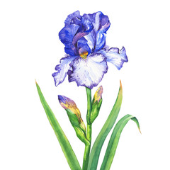 The branch flowering blue Iris with bud. Watercolor hand drawn painting illustration, isolated on white background.