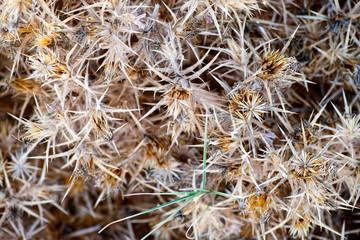 Dry thorn bush