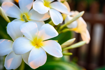 Photo sur Plexiglas Frangipanni White plumeria on the plumeria tree.