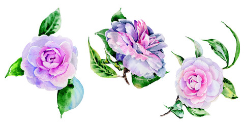 Wildflower peony, camelia flower in a watercolor style isolated.