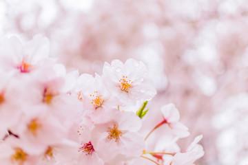 小雨に濡れて透き通るように美しい桜の写真