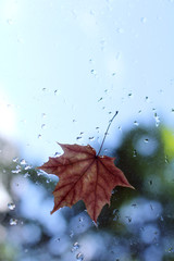 autumn arrived/ Blurry maple leaf clinging to the window after the rain