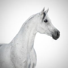 Portrait of a beauty gray arabian horse isolated on white background