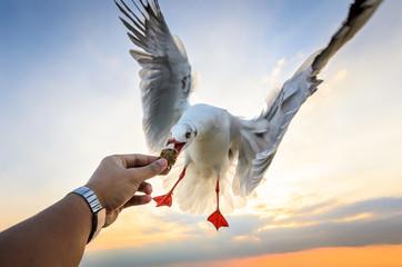 Feeding seagull on the sunset