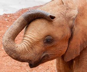 Baby elephant resting trunk on head