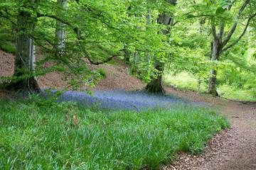 Bluebells under Beech Tree