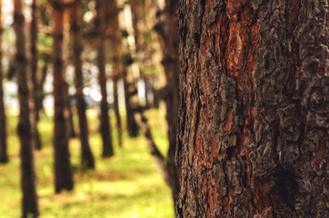 Blurred  background of tree  trunk, copy space, lens blur.