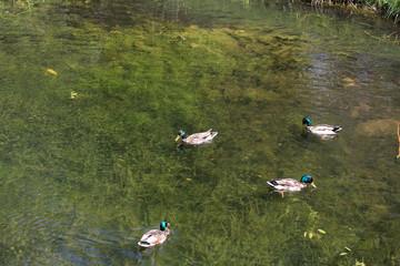 Ducks on a wild pond