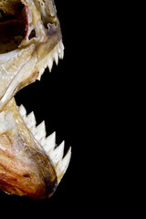 Piranha Teeth and Skull in Abstract Macro on Black Background