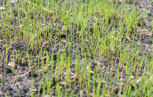 Prächtig Rasen keimt nach dem Säen