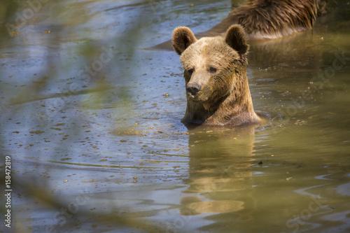 """Image D Ours Brun portrait d'ours brun jouant dans l'eau"""" stock photo and royalty-free"""