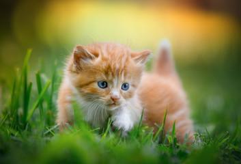 kitten crawling Fototapete