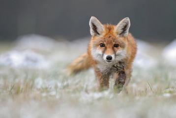 Red Fox in winter fox Wall mural
