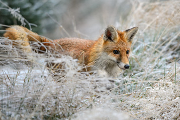 Wall Mural - Red Fox in frozen grass