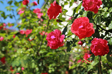 Blooming bush of red roses against the bright blue summer sky