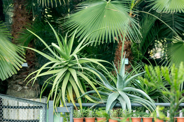 A palm large in a tropical jungle in the botanical garden at home