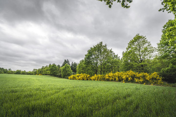 Landscape with green fields and yellow broom bushes