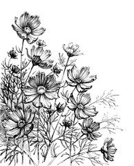 Cosmos flowers hand drawing. Garden background