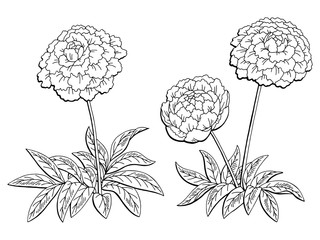 Peony flower graphic black white isolated sketch illustration vector