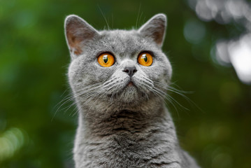 British cat ears straight gray color. Portrait of a beautiful cat