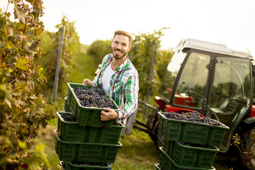 Young man harvesting red grapes in vineyard