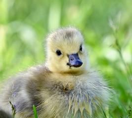 Canadian goose chick (Branta canadensis)