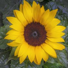 Sonnenblume, quadratisch