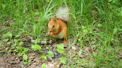 red squirrel in the Park chewing nuts