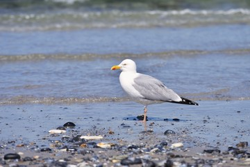 European herring gull or seagull on the pebble beach of North Sea waiting for food. Picture taken in spring sunny day. It breeds across Northern, Western, Central Europe, Scandinavia and Baltic states