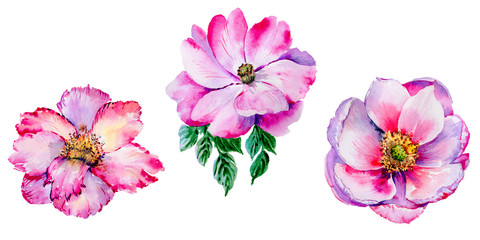Wildflower tea rose flower in a watercolor style isolated.