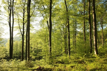 Spring beech forest at dawn