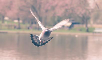 Landing Pigeon in the Park N