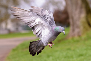 Landing Pigeon in the Park P