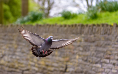 Landing Pigeon in the Park W