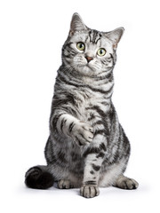 Black tabby British shorthair cat sitting straight up with lifted paw on white background looking at the camera