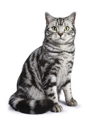 Black tabby British shorthair cat sitting straight up on white background looking at the camera