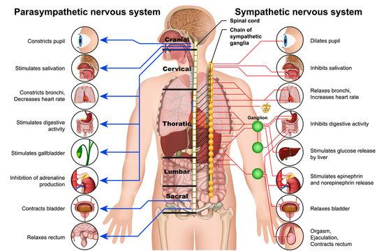 Sympathetic and parasympathetic nervous system