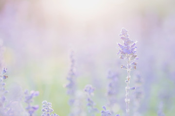 lavender flower in sunset background