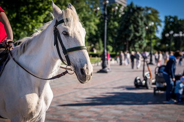 A beautiful white horse, harnessed, in a crowded place, a park. Horizontal frame