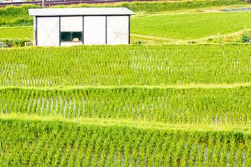 Japanese Rice Paddy - Kobe, Japan