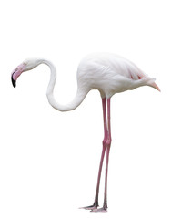 side view of flamengo bird isolate white background