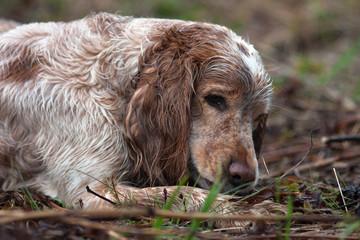 spaniel resting after hunt