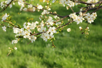 spring season/ Low-growing branches of blossoming cherry on a lawn background