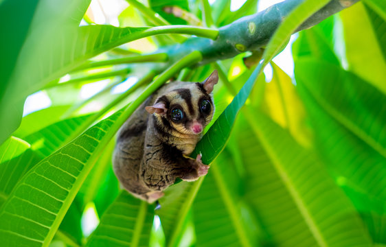 A Chubby adorable sugar glider climb on the tree in the garden. (Petaurus breviceps)