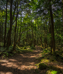 Path through Aokigahara Forest. Mysterious forest in the Japanese Mount Fuji region. Mossy floor and moody light. It is known as suicide forest. Many people disappear here and commit suicide.