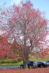 Maple tree at New Zealand